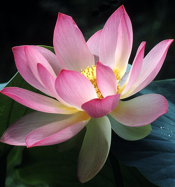 Lovely Lotus Print by Elvira Butler