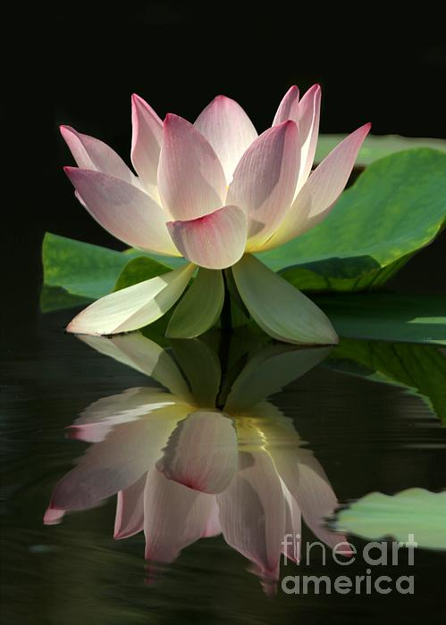 Lovely Lotus Reflection Print by Sabrina L Ryan