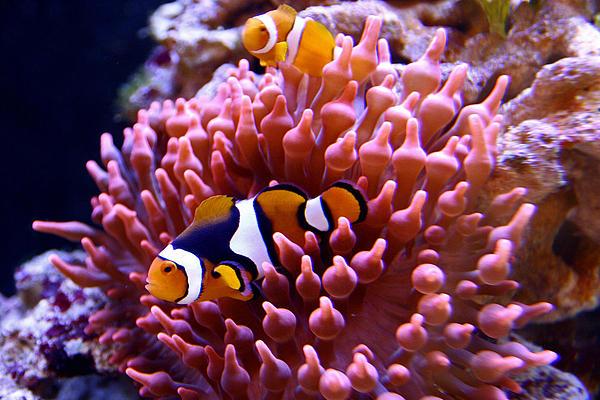 Ocellaris clownfish anemone - photo#18