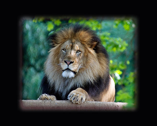 Jonathan E Whichard - LUKE Panthera leo