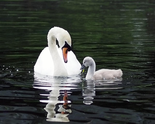 Rona Black - Lunchtime for Swan and Cygnet