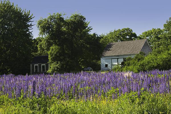 Lupine Flowers Near Round Pond Maine Print by Keith Webber Jr