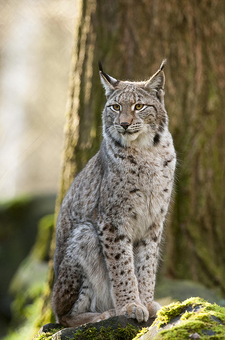 Lynx Print by Andy-Kim Moeller