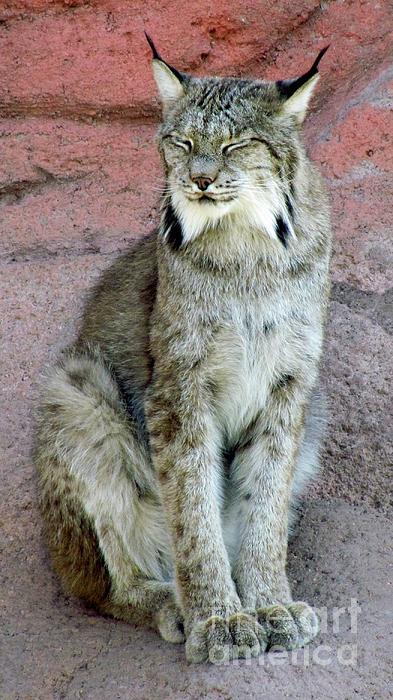 Barbara Henry - Lynx