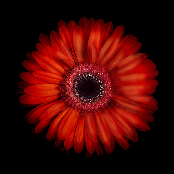 Macro Photograph Of An Red And Orange Gerbera Daisy Against A Black Background Print by Zoe Ferrie