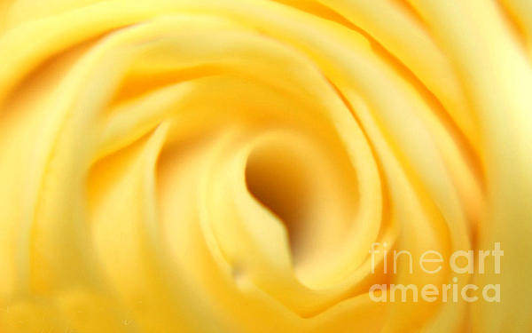 Maggie Vlazny - Macro Yellow Rose