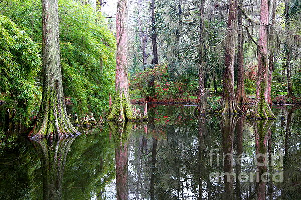Magical Cypress Swamp Print by Carol Groenen