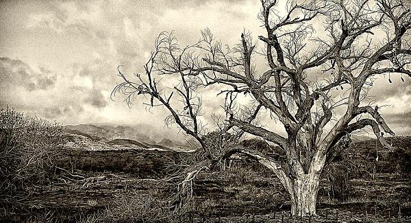Magnificent Shoe Tree Near San Felipe Road Print by Ron Regalado