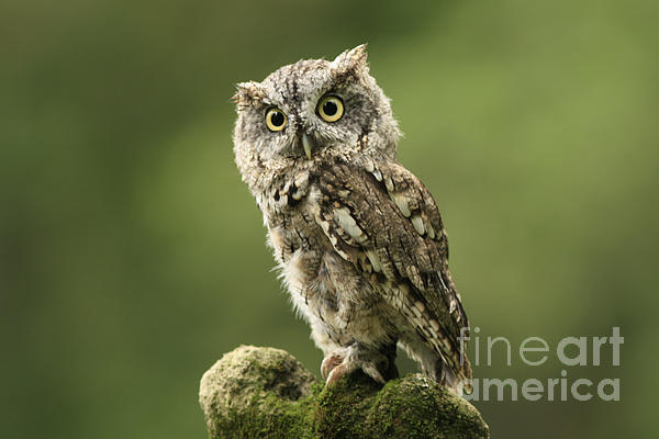 Magnifique  Eastern Screech Owl Print by Inspired Nature Photography By Shelley Myke