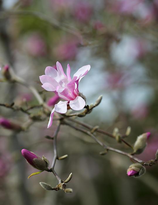 Magnolia Blossom In Tree 3 Print by Rebecca Cozart