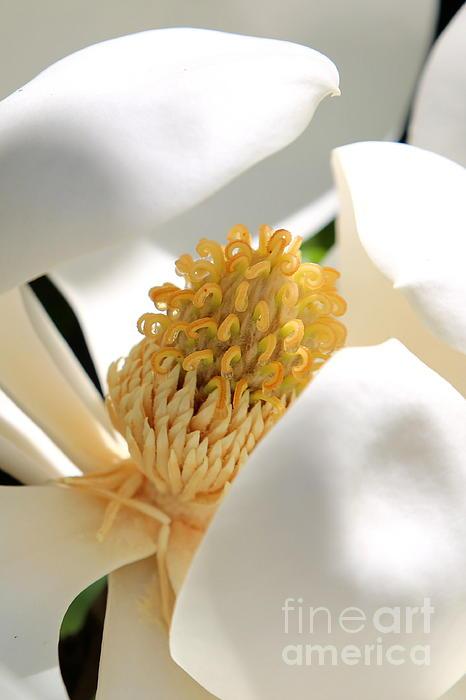 Magnolia Center Print by Carol Groenen