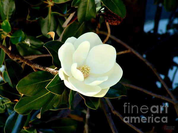 Magnolia Grandiflora Print by Hanza Turgul