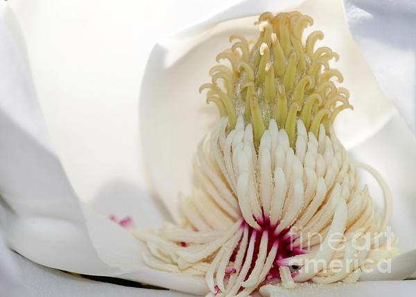 Magnolia Sticky Fingers Print by Sabrina L Ryan