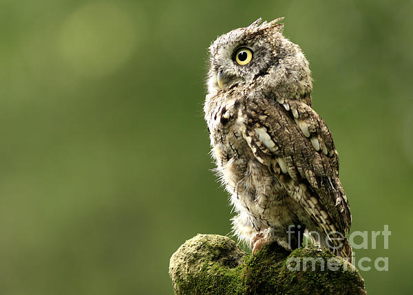 Inspired Nature Photography Fine Art Photography - Majestic Moments Eastern Screech Owl