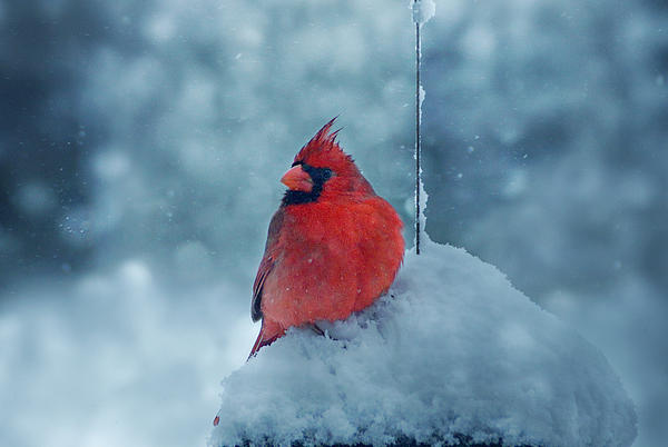 Male Cardinal In The Snow Print by Sandy Keeton
