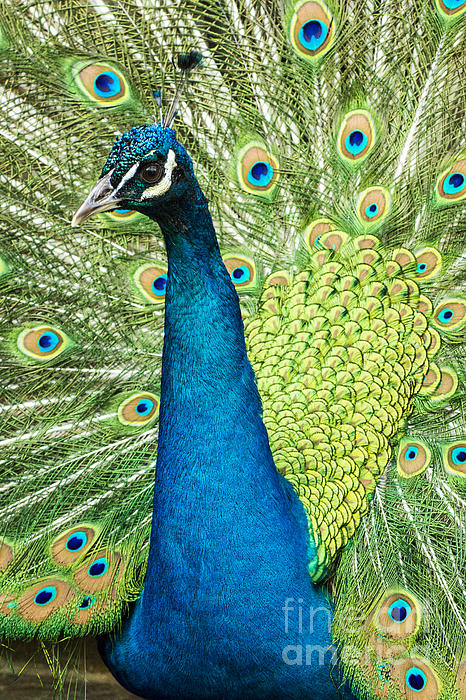 Male Indian Peacock Print by Darleen Stry