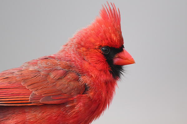 Deanna Wright - Male Northern Cardinal