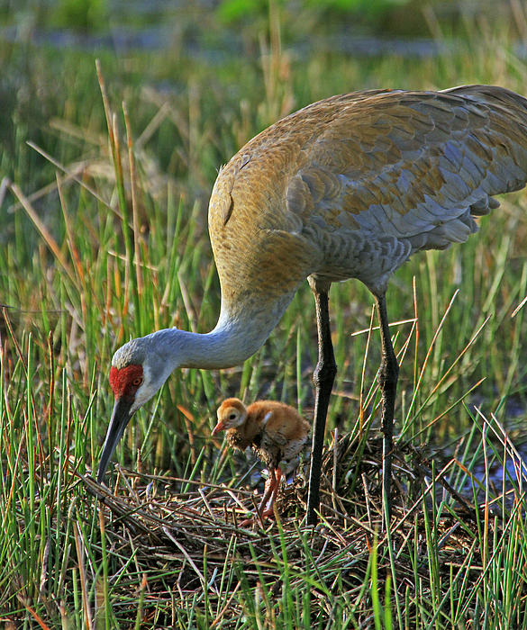 Larry Nieland - Male Sandhill with 4 day old chick