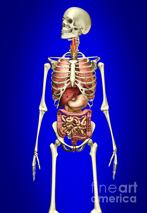 Male Skeleton With Internal Organs Print by Leonello Calvetti