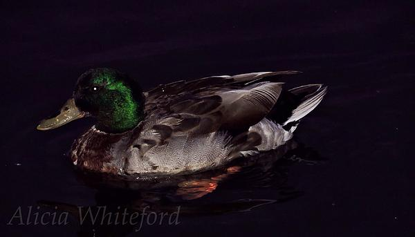 Mallard 2 Print by Alicia Whiteford