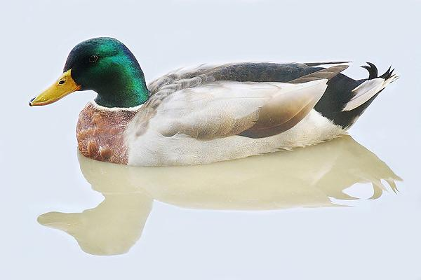 Mallard Duck Print by Paulette Thomas