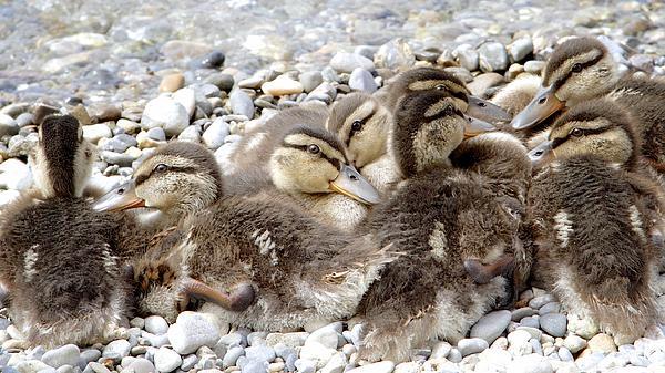 Colleen Williams - Mallard Ducklings in Spring