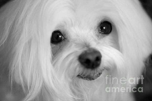 Maltese Eyes Print by Leslie Leda