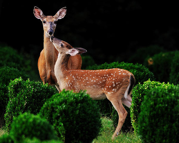 Mama And Her Fawn Print by Angel Cher
