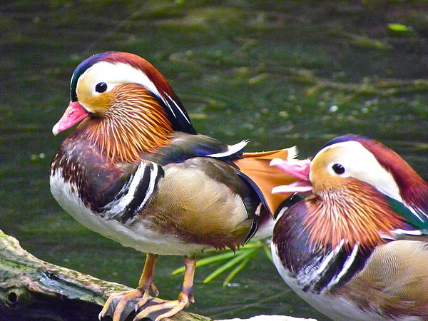 Eve Spring - Mandarin Ducks