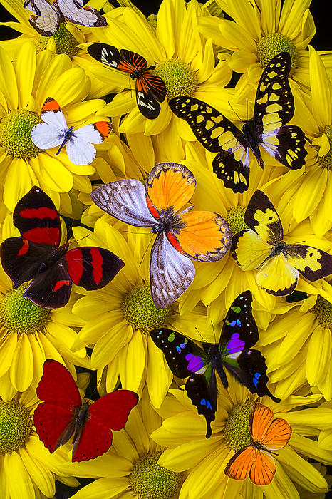 Many Butterflies On Mums Print by Garry Gay