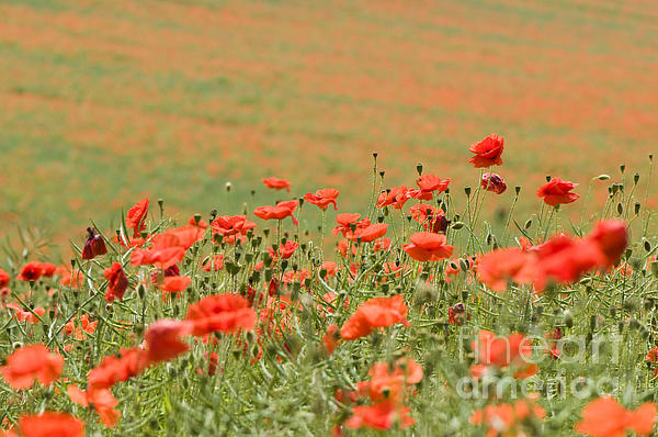 Many Poppies Print by Anne Gilbert