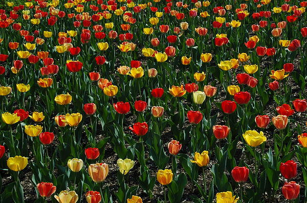 Many Tulips Print by Raymond Salani III