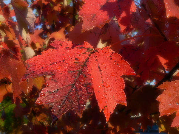 MM Anderson - Maple Leaves in Autumn Red