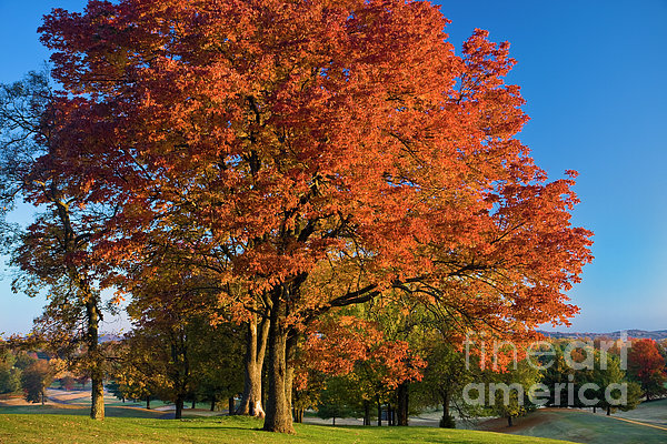 Maple Trees Print by Brian Jannsen