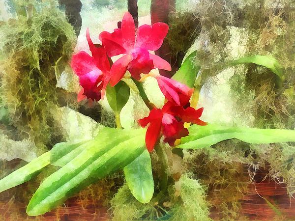 Maroon Cattleya Orchids Print by Susan Savad