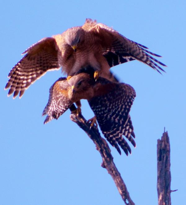 Mating Hawks Print by Gunter  Hortz