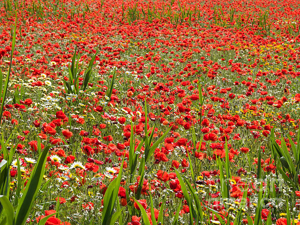 Meadow Covered With Red Poppies Print by Jose Elias - Sofia Pereira