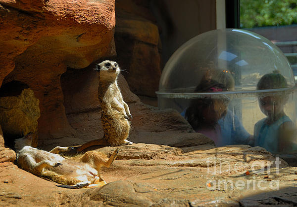 Meerkat Manners Print by Amy Cicconi