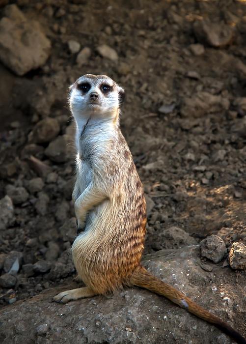 Meerkat by Robert Bale... Meerkat Pictures To Print