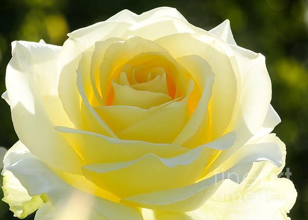 Mellow Yellow Rose Print by Sabrina L Ryan