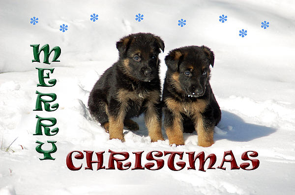 Merry Christmas Puppies Print by Aimee L Maher Photography and Art
