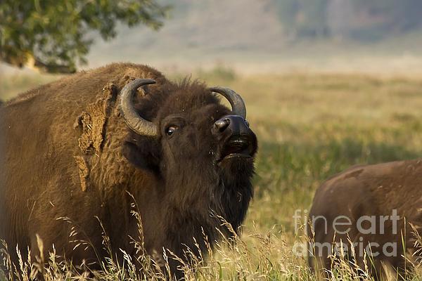 Teresa Zieba - Mighty Bison