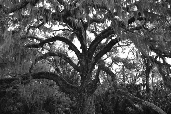 Mighty Oak Print by Kimberly Oegerle