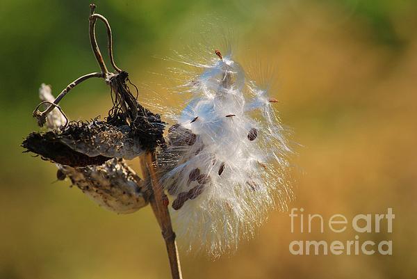 Milkweed - Fall Is Coming Print by Joy Bradley