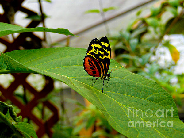 Mindo Butterfly Poses Print by Al Bourassa