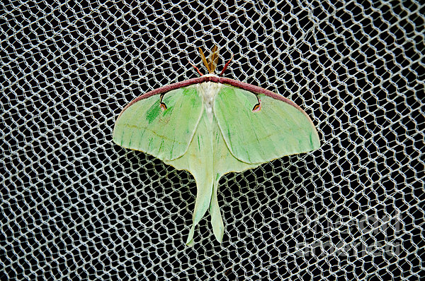 Mint Green Luna Moth Print by Andee Design