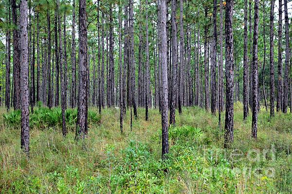 Carol Groenen - Mississippi Woods