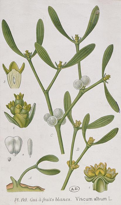 Mistletoe Print by Elizabeth Blackwell