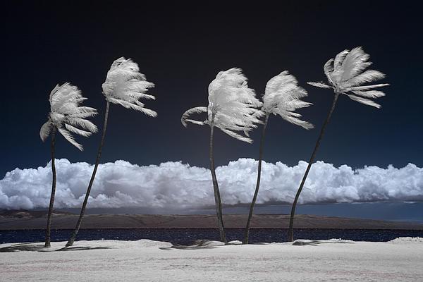 Alan Kepler - Molokai Palms 3
