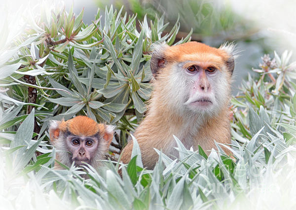 Jim Fitzpatrick - Mommy and Baby Patas Monkeys on the Lookout